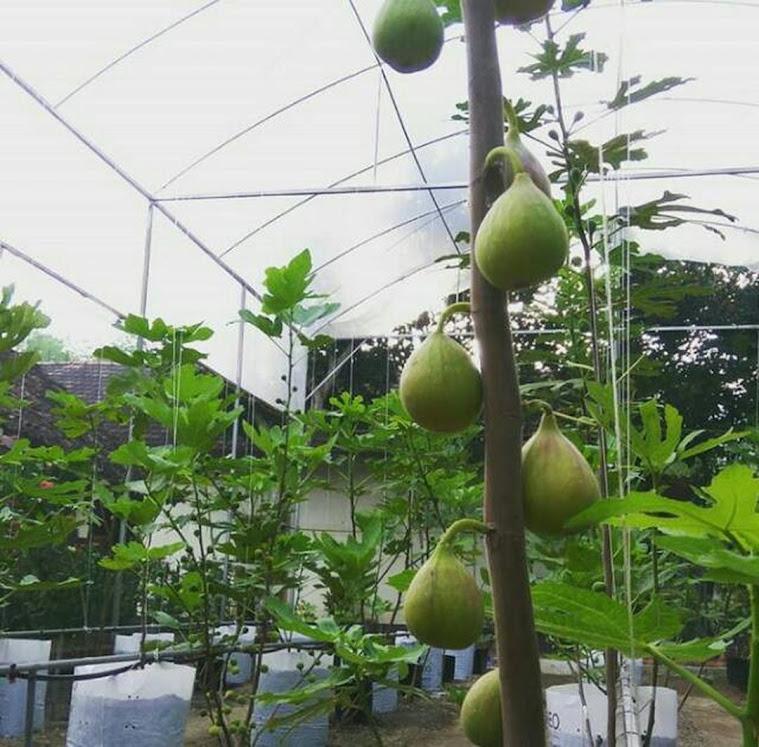 Bibit buah tin berbuah Riau
