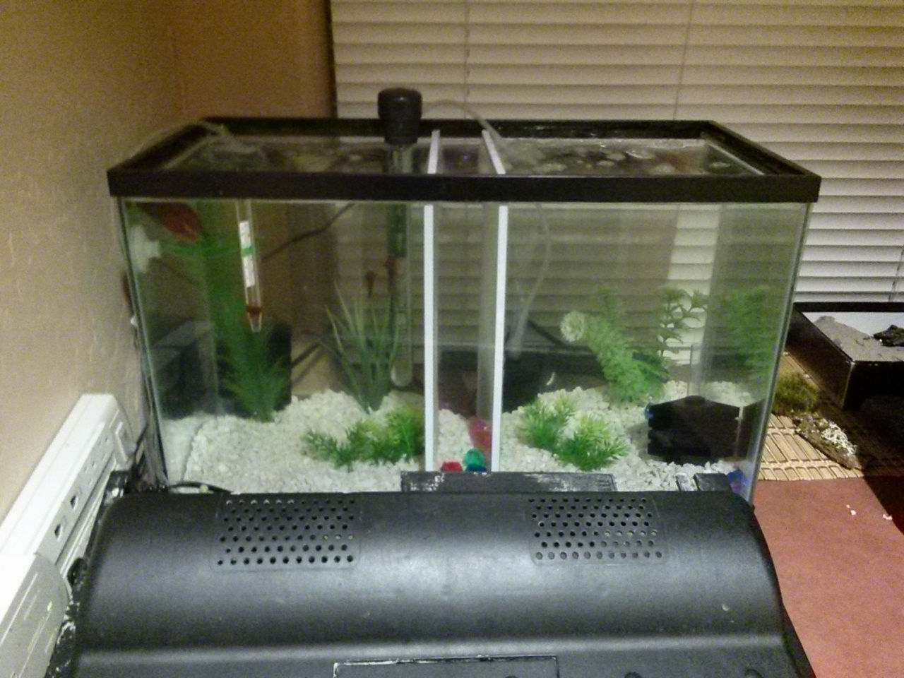 Polly rambles betta care a tank divided for Multiple betta fish tank