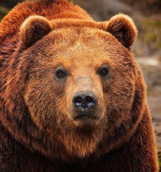 هل كل الدببة تسبت في الشتاء؟
