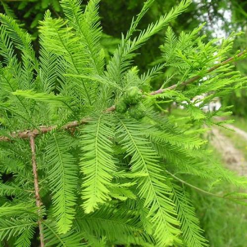 Planta cipreste calvo