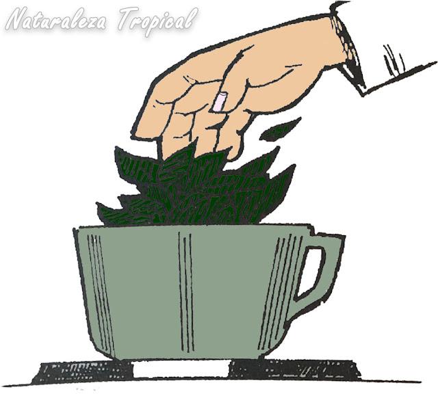Vertiendo hojas de plantas medicinales en la vasija para su futura cocción en agua