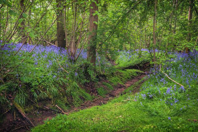 Bluebells cover Waresley & Gransden Woods in springtime