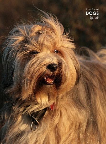 Tibet Terrier Socke ist der Beweis, dass auch Hunde mit ihrer Gesichtsmimik lachen können.