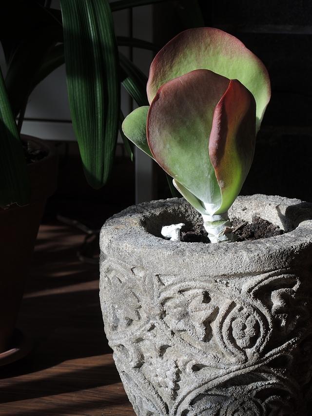 In mijn huiskamerjungle: de woestijnroos of Kalanchoe thyrsiflora