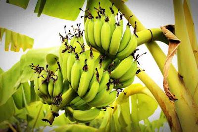 فوائد الموز الاخضر للرجيم