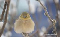 Fluffy American goldfinch trying to stay warm – Jan. 3, 2014 – © Wanda Bailey