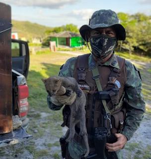 Cippa de Lençóis resgata Jaguarandi em residência, na Chapada Diamantina