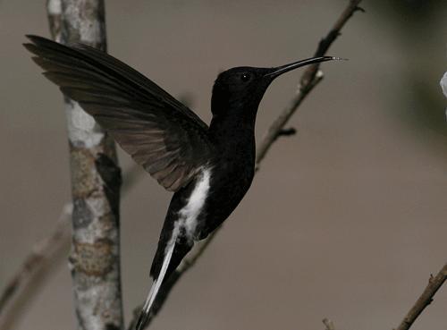 Os indivíduos jovens são negros manchados de pardo. Apresentam uma faixa maxilar castanha, cauda canela ou negra, sendo brancas somente em pequenas faixas laterais.