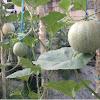 Cara Menanam Melon Dalam Polybag di Halaman Rumah