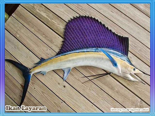 gambar ikan layaran
