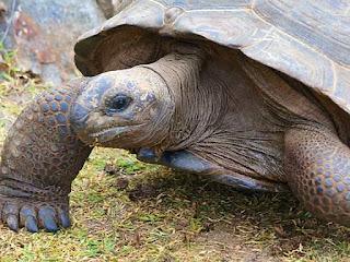 perbedaan-kura-kura-aldabra.jpg