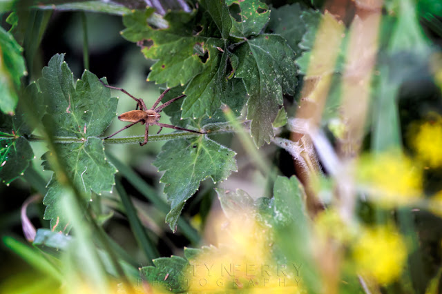 macro image of a nursery web spider at Barnack Hills & Holes Nature Reserve
