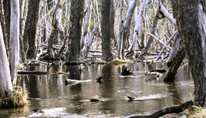 Con el respaldo de organizaciones medioambientales, las autoridades forman un equipo de 10 cazadores para poner fin a una plaga que destruye el territorio.