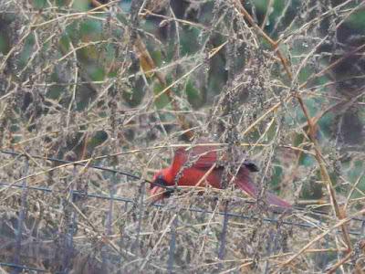 cardinal eating chenopodium seed