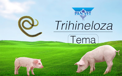 Trihineloza - Panvet Subotica