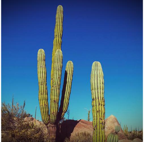 Cactus cierges typiques du Mexique