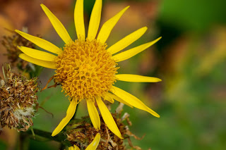 [Asteraceae] unknown yellow flower.