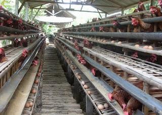 kebutahan nutrisi ayam petelur unggul