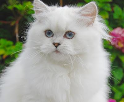 Cara Merawat Kucing BLH