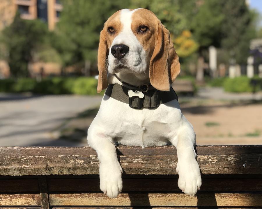 Anjing Beagle Profil Perilaku Perawatan
