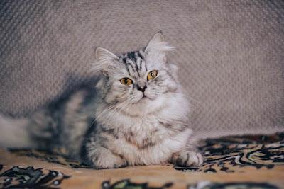 القطط الفارسية.Persian cats