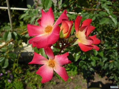 人手型の薔薇