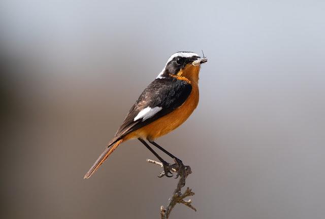 Moussier's Redstart - Souss Massa National Park, Morocco