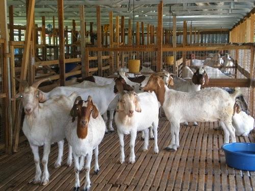 panduan lengkap ternak kambing