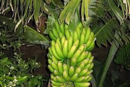 Budidaya pisang nangka dengan cepat