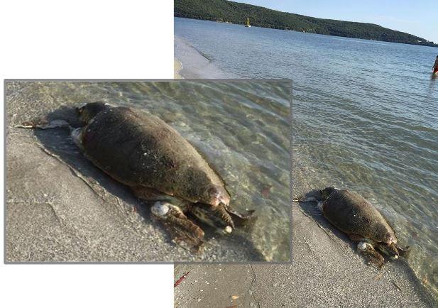 Νεκρή χελώνα Καρέτα - Καρέτα στο Δρέπανο Ηγουμενίτσας (+ΦΩΤΟ)