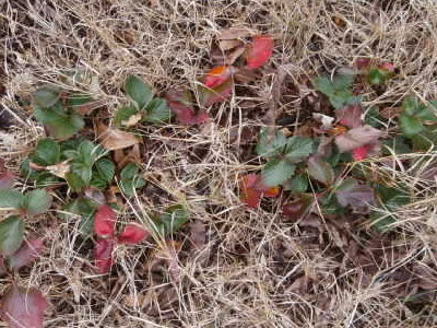 wire grass goes dormant in winter