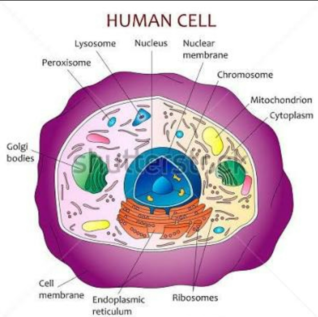 Health and teach human cell in hindi human cell in hindi ccuart Images