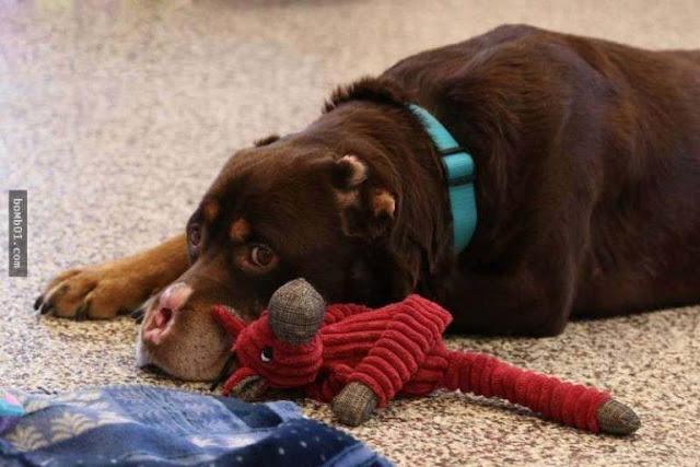 Chú chó bị cắt cụt mũi, đuôi và tai