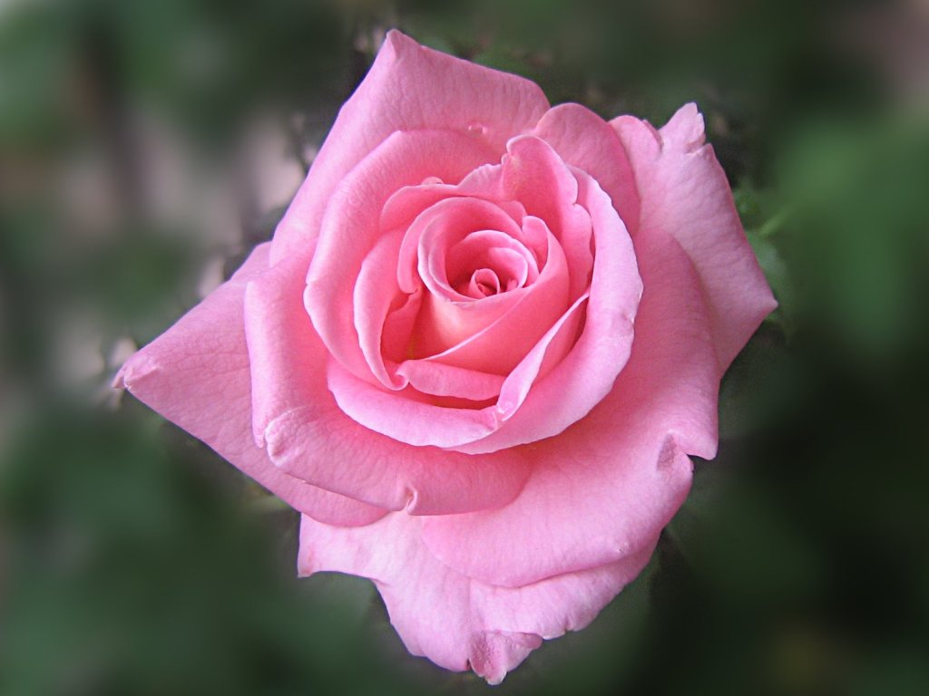 Pink Beauty Flower Single Rose: Beautiful Pink Rose Wallpaper