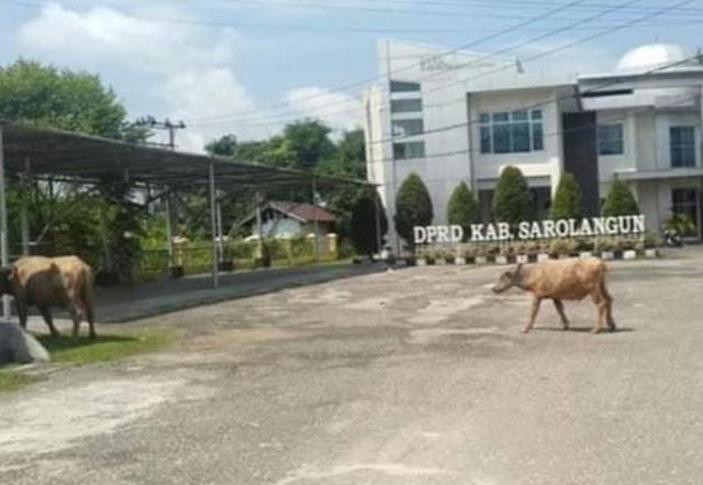 Saat Jam Kantor, Kerbau Berkeliaran Di Halaman Gedung DPRD Sarolangun