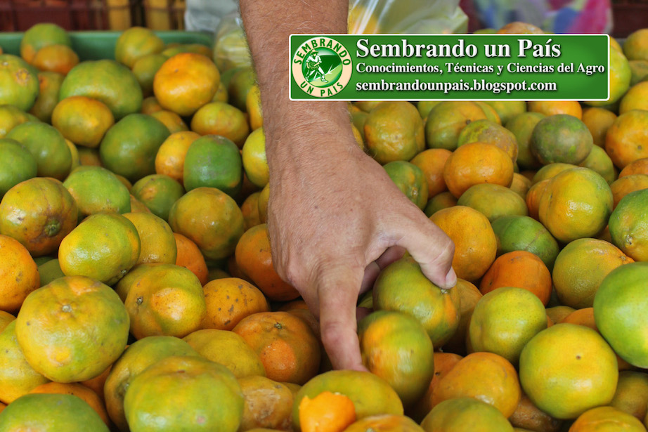 comprando mandarinas en mercado