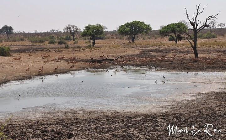 Impalas en Mazithi Dam, Kruger