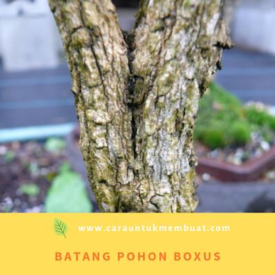 Batang Pohon Boxus