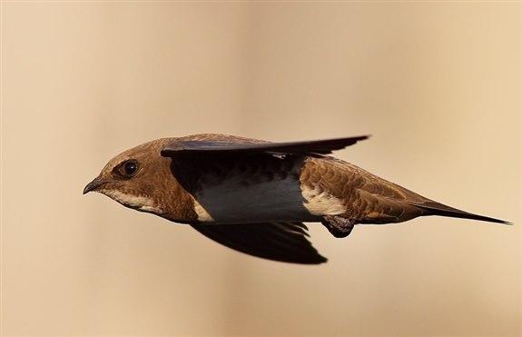 Ebabil kuşu -  E Hayvan İsimleri