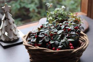 クリスマスツリー型キャンドルスタンドとカゴに入ったゴールテリア苗