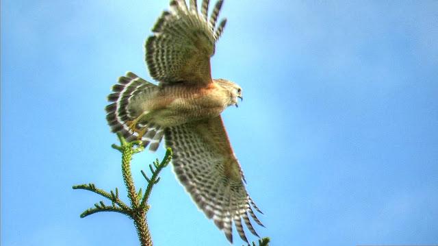 Red Shouldered Hawk Calling