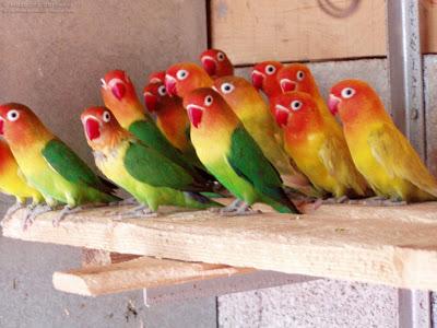 Usia Lovebird Yang Siap Kawin Inilah Umur Ideal Nya Sukses Perawatan