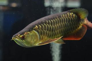 Ikan Arowana Golden Red