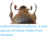 https://sciencythoughts.blogspot.com/2019/04/lophorrhinides-muellerae-new-species-of.html