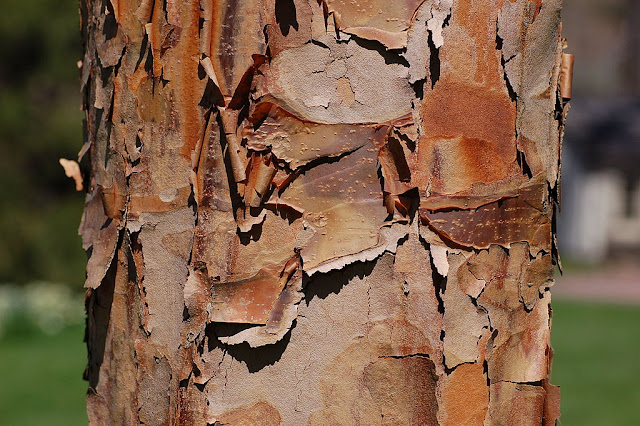 Peeling bark from the paperbark Maple' - Acer griseum