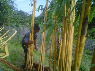 harga tanaman bambu panda kuning paling murah, tukang bambu terdekat