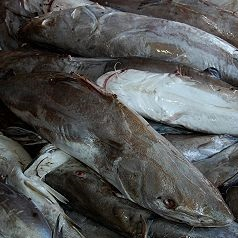 ikan manyung