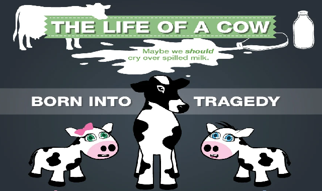 The Life of A Cow #infographic