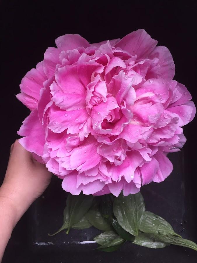 Huge peony blooms