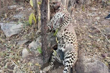 Tragis, Macan Tutul Terbunuh oleh Jerat Kawat